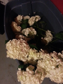 Hydrangea. Ohhh, the things we do to get these things in their best shape! Soaking, sitting, fluffed and ready!
